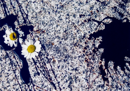 A Moon Daisy Contemplates The Horror Of It's Own Mortality II (2007)